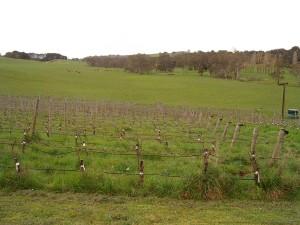 Typical spring under-vine overgrowth.