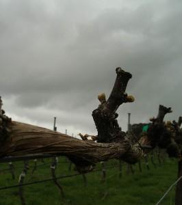 gruner veltliner at Hahndorf Hill winery