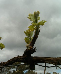 Gruner Veltliner first shoots at hahndorf hill winery in the Adelaide Hills