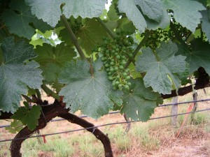 New Gruner Veltliner at Hahndorf Hill Winery