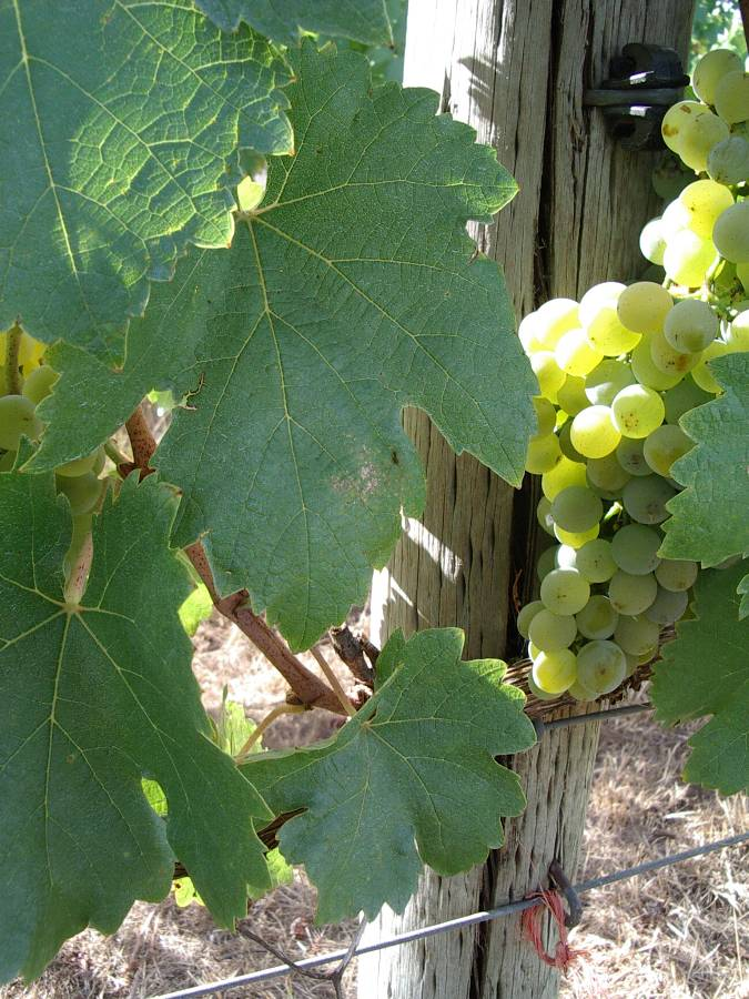 Beautiful bunch of 2013 Gruner Veltlier at Hahndorf Hill