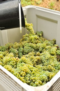 Newly harvested Gruner Veltliner at Hahndorf Hill