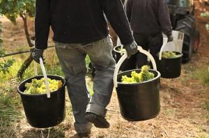 Freshly harvested Gruner Veltliner at Hahndorf Hill Winery.