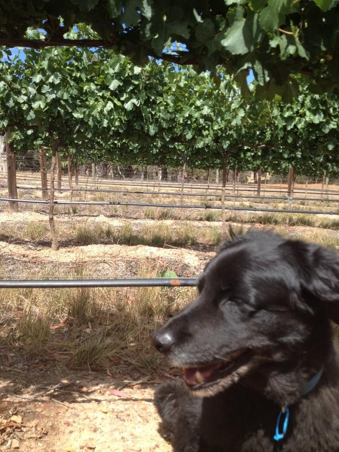 Dreaming of Gruner Veltliner Adelaide Hills wine